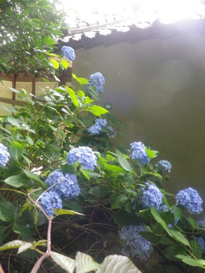 07)    18.06.08 鎌倉「光明寺」 大殿裏の古道にも紫陽花が咲いた