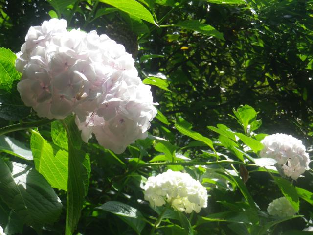 09-2)    18.06.08 鎌倉「光明寺」 大殿裏の古道にも紫陽花が咲いた