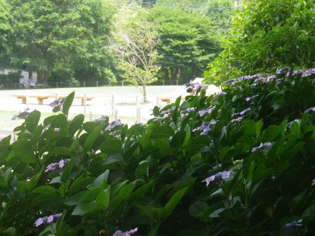 02-3)  18.06.14 鎌倉「永福寺跡」あくまでも遺跡保存と復元で、控えめに咲く紫陽花。。