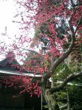 10鎌倉市坂ノ下「御霊神社(権五郎神社)」社殿と社殿右境内の緋桃
