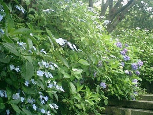 24)  08.06.28 鎌倉「浄妙寺」紫陽花の季節