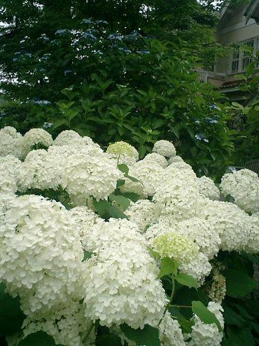27)  08.06.28 鎌倉「浄妙寺」紫陽花の季節