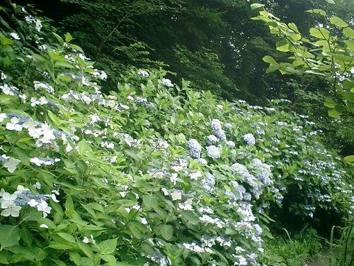 31)  08.06.28 鎌倉「浄妙寺」紫陽花の季節