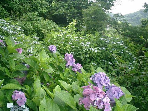33)  08.06.28 鎌倉「浄妙寺」紫陽花の季節