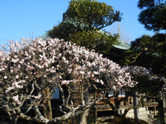 08-2) 本堂を背景にして、境内の梅。 _ 21.02.23D 鎌倉「極楽寺」梅の開花が見頃の頃  鎌倉市極楽寺