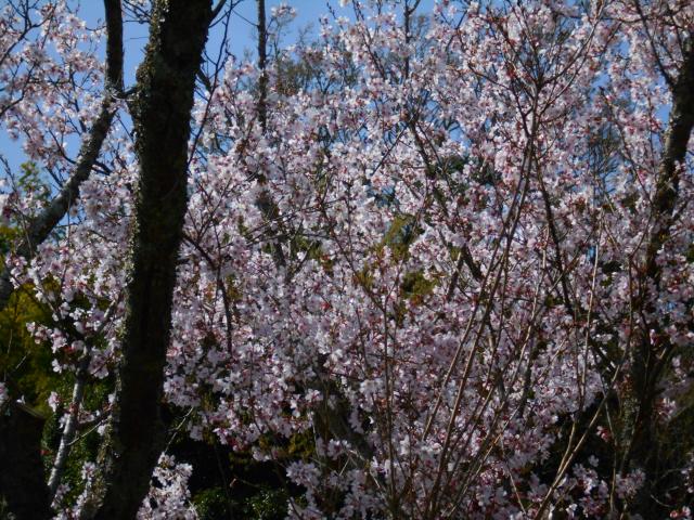 07-2) ズームアップ _ 21.03.17G 鎌倉「東慶寺」 枝垂れ桜が満開な頃