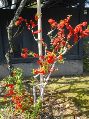 10) 木瓜の花 _ 21.03.17G 鎌倉「東慶寺」 枝垂れ桜が満開な頃
