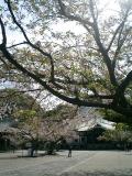 01) 本堂を背景にした桜