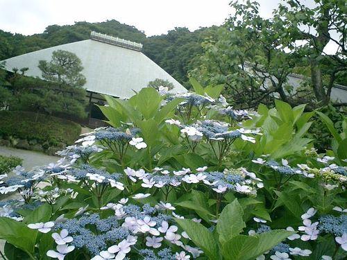 09)  08.06.28 鎌倉「浄妙寺」紫陽花の季節