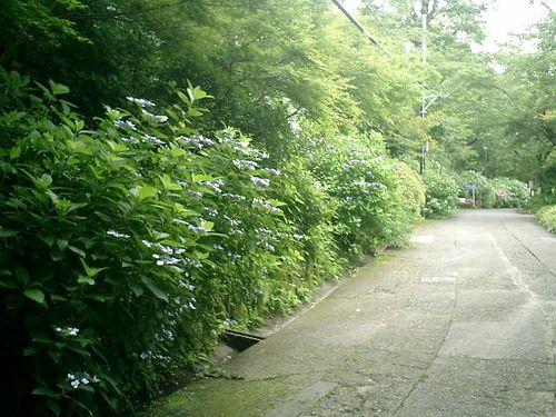 21)  08.06.28 鎌倉「浄妙寺」紫陽花の季節