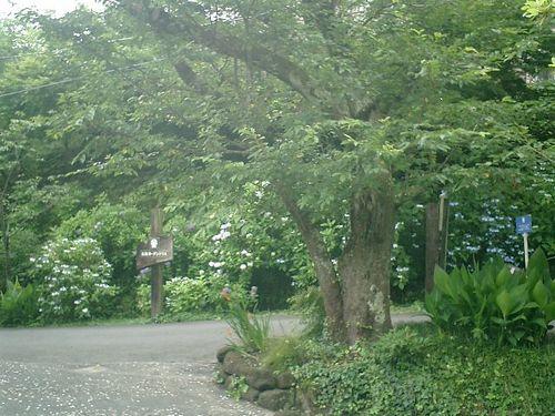 29)  08.06.28 鎌倉「浄妙寺」紫陽花の季節