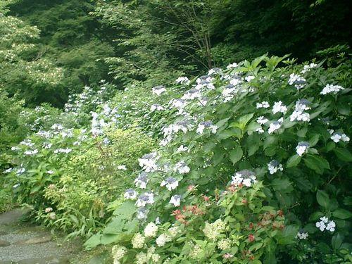 32)  08.06.28 鎌倉「浄妙寺」紫陽花の季節