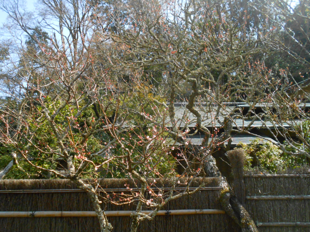 11-1) 遅れて咲いた梅のつもりで撮った。  _ 21.03.17G 鎌倉「東慶寺」 枝垂れ桜が満開な頃