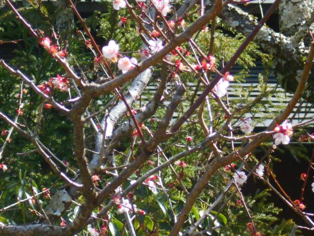 11-2) 遅れて咲いた梅のつもりで撮った。  _ 21.03.17G 鎌倉「東慶寺」 枝垂れ桜が満開な頃