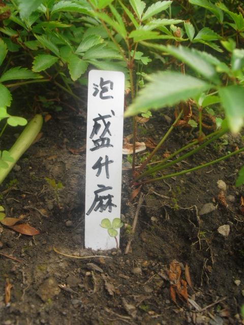14) 泡盛升麻 (アワモリショウマ) _ 「大巧寺」